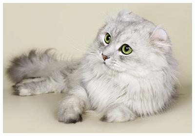 アメリカンカール 子猫
