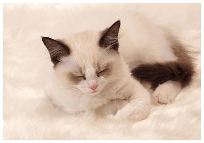 みんなの猫図鑑 , ラグドール